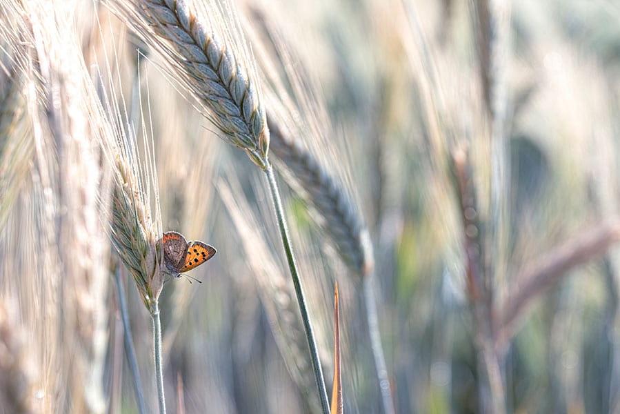 A butterfly in a wheat field