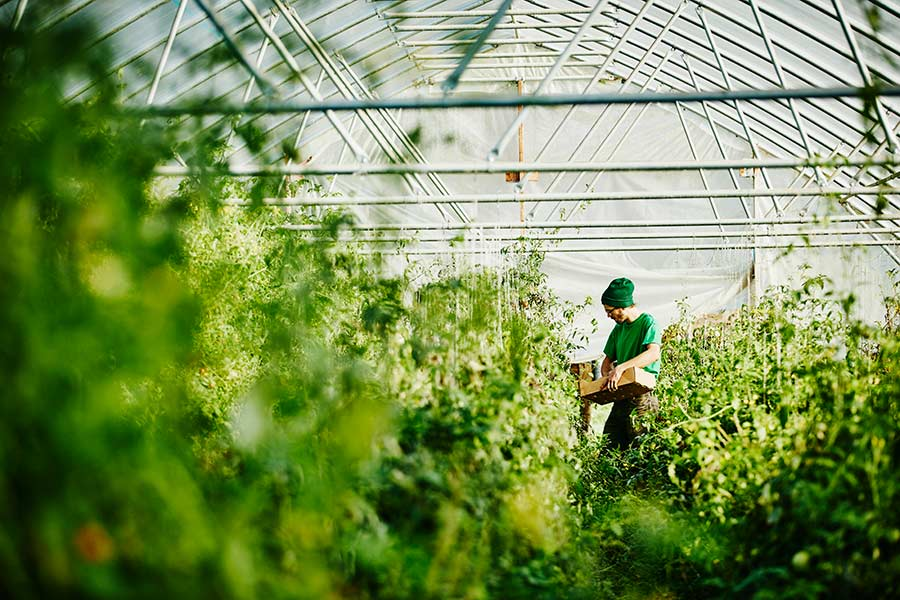 A person holding a crate in a commercial greenhouse