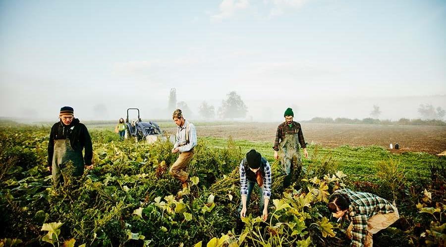 People working in a crop field