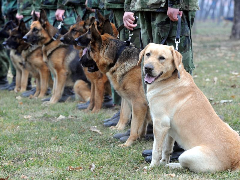 Service dog